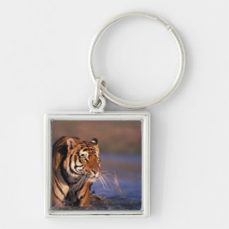Asia, India, Bengal tiger Panthera tigris); Silver-Colored Square Key Ring