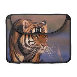 Asia, India, Bengal tiger Panthera tigris); Sleeves For MacBooks