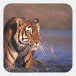 Asia, India, Bengal tiger Panthera tigris); Square Sticker