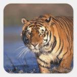 ASIA, India, Bengal Tiger Panthera tigris) Square Sticker