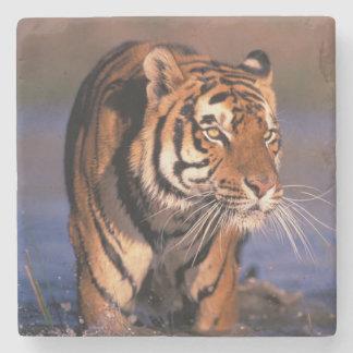 Asia, India, Bengal tiger Panthera tigris); Stone Coaster