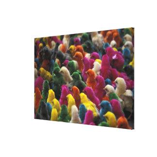 Asia, India, Karnataka, Mysore. Colored chicks Canvas Print