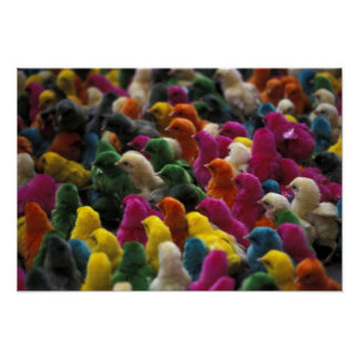 Asia, India, Karnataka, Mysore. Colored chicks Poster