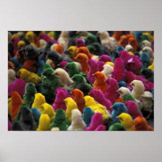 Asia, India, Karnataka, Mysore. Colored chicks Poster