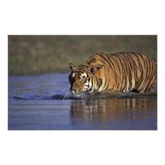 ASIA, India Tiger walking through the water 2 Photo Art