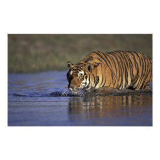 ASIA, India Tiger walking through the water Photograph