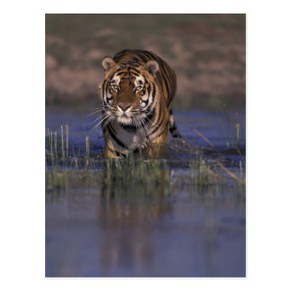 ASIA, India Tiger walking through the water Postcard
