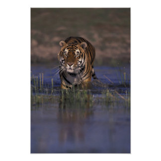 ASIA, India Tiger walking through the water Poster