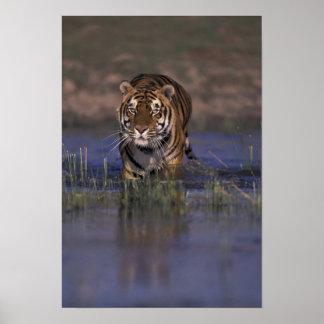 ASIA, India Tiger walking through the water Poster