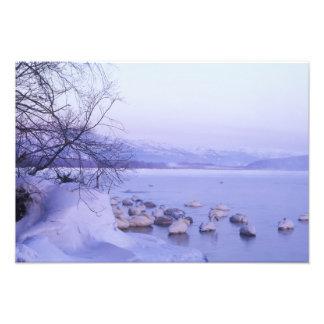 Asia Japan Hokkaido Akan NP Whopper Swans Photo