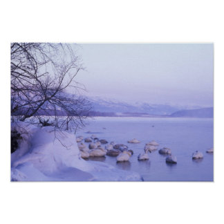 Asia, Japan, Hokkaido, Akan NP, Whopper Swans Poster