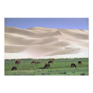 Asia, Mongolia, Gobi Desert. Wild horses. Photo Print