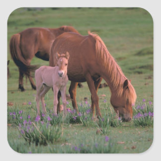 Asia, Mongolia, Gobi Desert. Wild Horses Square Sticker