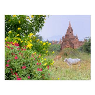 Asia, Myanmar (Burma), Bagan (Pagan). Cows Postcard