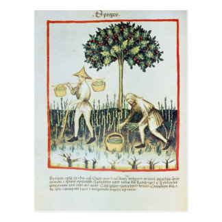 Asparagus Pickers, 13th century Postcard