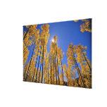 Aspen grove in autumn in the San Juan Range of Canvas Prints