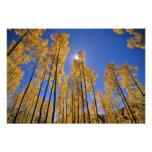 Aspen grove in autumn in the San Juan Range of Photo Print