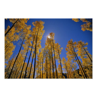 Aspen grove in autumn in the San Juan Range of Poster