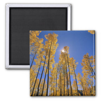 Aspen grove in autumn in the San Juan Range of Square Magnet
