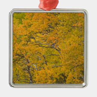 Aspen grove in peak fall colors near East Christmas Ornament
