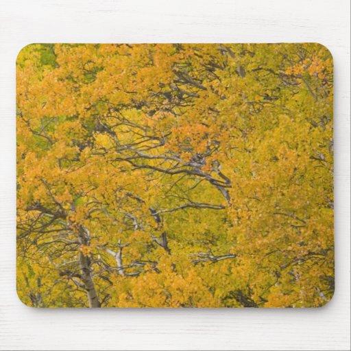 Aspen grove in peak fall colors near East Mouse Pad
