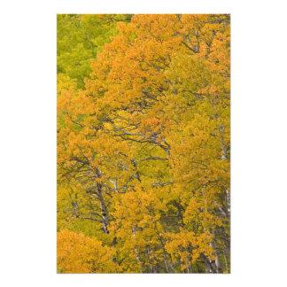 Aspen grove in peak fall colors near East Photo Print