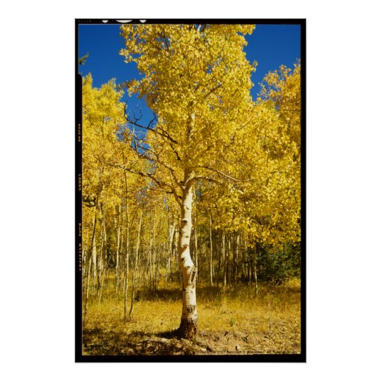 Aspen Tree, Cripple Creek, Colorado Poster