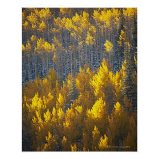 Aspen tree groves in fall colors and new poster