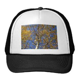 Aspen tree looking up through yellow leaves. cap