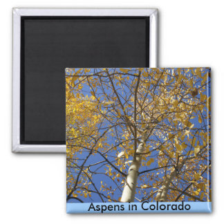 Aspen tree looking up through yellow leaves. magnet
