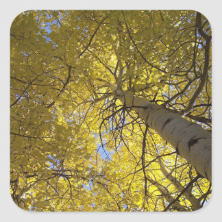 Aspen trees and blue skies square sticker