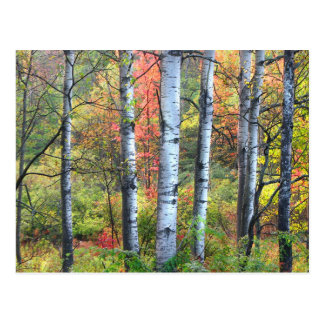 Aspen Trees in Autumn Postcard