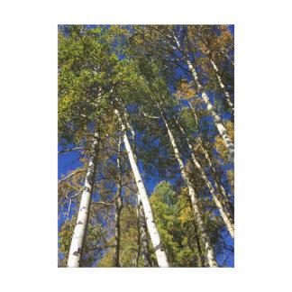 Aspen Trees in Banff National Park Canvas Print