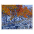 Aspen trees in Fall colours, Bighorn Mountains, Poster