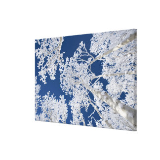 Aspen Trees with Snow Canvas Print