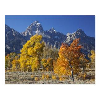 Aspen trees with the Teton mountain range Postcard