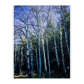 Aspens and pine trees in the fall acrylic wall art