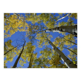 Aspens from Below print