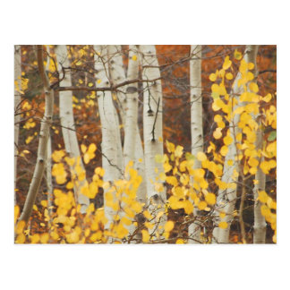 Aspens in Autumn Postcard