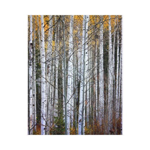 Aspens in Fall Stretched Canvas Prints