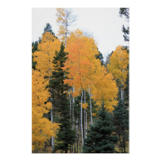 Aspens in Taos Pines Poster