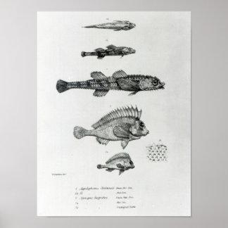 Aspidophorus Chiloensis and Agriopus Hispidus Poster