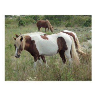Assateague Ponies Postcard