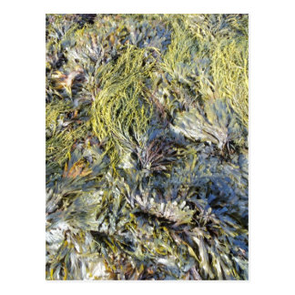 Assorted Seaweeds Postcard