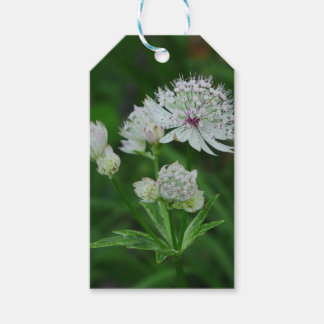 Astrantia Flowers Gift Tag