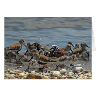 Atlantic Coast Shorebirds: Delaware Bay Card