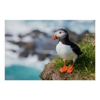 Atlantic Common Puffin Fratercula Arctica Poster