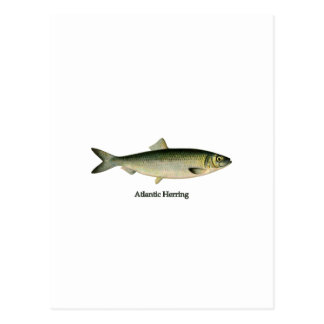 Atlantic Herring Postcard