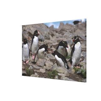 Atlantic Ocean, Falkland Islands. Rockhopper 2 Stretched Canvas Print