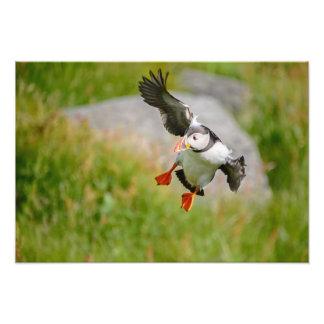 Atlantic Puffin bird flying Photo